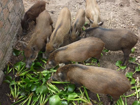 Bảng giá lợn rừng 2